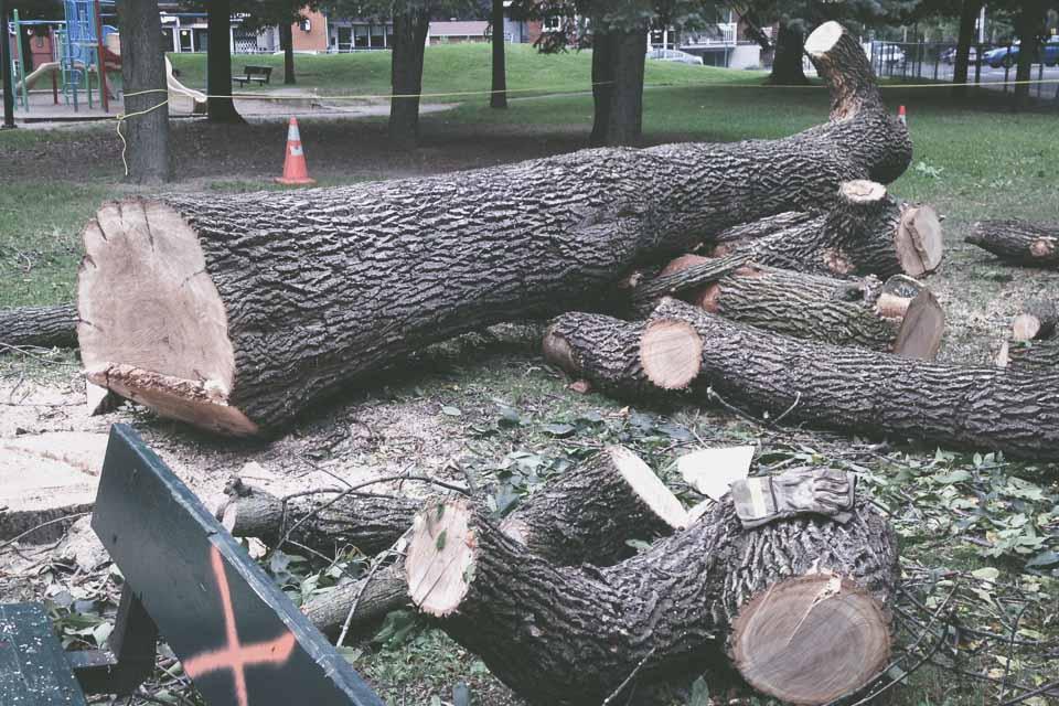 Récolte du bois par Frêne Urbain